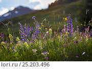 Купить «Alpine meadow in flower including Scabious flowers. Austrian Alps at 1700 metres altitude, North Tyrol, Austria, June», фото № 25203496, снято 22 мая 2018 г. (c) Nature Picture Library / Фотобанк Лори