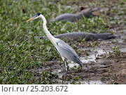 Купить «Cocoi Heron (Ardea cocoi) with caimans in the background, Pantanal, Brazil», фото № 25203672, снято 14 июля 2020 г. (c) Nature Picture Library / Фотобанк Лори