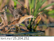 Female Little crake (Porzana parva) taking off, Polvijarvi, Finland, May. Стоковое фото, фотограф Markus Varesvuo / Nature Picture Library / Фотобанк Лори