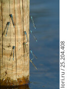 Купить «Common blue damselflies (Enallagma cyathigerum) some in mating pairs, sunning on a wooden post emerging from a lake edge in sunset light, Wiltshire, UK, July.», фото № 25204408, снято 16 октября 2019 г. (c) Nature Picture Library / Фотобанк Лори