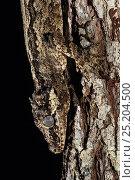 Купить «New Caledonian Bumpy Gecko (Rhacodactylus auriculatus) New Caledonia, endemic.», фото № 25204500, снято 22 ноября 2017 г. (c) Nature Picture Library / Фотобанк Лори