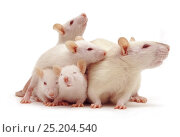 Купить «Female Himalayan Rat (Rattus norvegicus) with babies, 5 weeks, against white background», фото № 25204540, снято 17 августа 2018 г. (c) Nature Picture Library / Фотобанк Лори