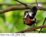 Купить «Club-winged Manakin (Machaeropterus deliciosus) male displaying and stridulating, Milpe Bird Sanctuary, Pichincha province, Ecuador.», фото № 25204732, снято 23 марта 2019 г. (c) Nature Picture Library / Фотобанк Лори
