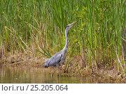 Купить «Grey Heron (Ardea cinerea) North Greenwich, London, England, UK, July.», фото № 25205064, снято 6 декабря 2019 г. (c) Nature Picture Library / Фотобанк Лори