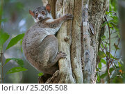 Milne-Edwards' Sportive Lemur (Lepilemur edwardsi) on tree trunk, Ankarafantsika NP, Madagascar. Стоковое фото, фотограф Bernard Castelein / Nature Picture Library / Фотобанк Лори