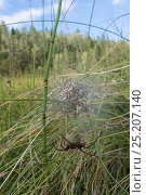 Купить «Raft spider (Dolomedes fimbriatus) with a web of spiderlings, Finland, September.», фото № 25207140, снято 25 сентября 2018 г. (c) Nature Picture Library / Фотобанк Лори