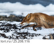 Купить «Red Fox (Vulpes vulpes) running out of sea with water dripping off coat, southwest Finland, February.», фото № 25208116, снято 18 апреля 2019 г. (c) Nature Picture Library / Фотобанк Лори