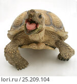 Купить «African Giant Tortoise (Testudo sulcata) with mouth agape, against white background», фото № 25209104, снято 26 марта 2019 г. (c) Nature Picture Library / Фотобанк Лори