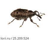 Купить «Unidentified Weevil (Curculionidae) Gamboa, Panama. Meetyourneighbours.net project», фото № 25209524, снято 19 февраля 2019 г. (c) Nature Picture Library / Фотобанк Лори
