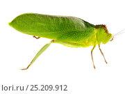 Купить «Large unknown Katydid (Tettigoniidae) Gamboa, Panama. Meetyourneighbours.net project», фото № 25209912, снято 19 февраля 2019 г. (c) Nature Picture Library / Фотобанк Лори