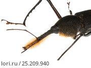 Купить «Bearded Weevil (Rhinostomus barbirostris) Gamboa, Panama. Meetyourneighbours.net project», фото № 25209940, снято 19 февраля 2019 г. (c) Nature Picture Library / Фотобанк Лори