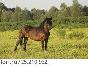 Купить «A rare Posavina mare standing, Lonja, Croatia, August.», фото № 25210932, снято 16 августа 2018 г. (c) Nature Picture Library / Фотобанк Лори