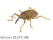 Купить «Unidentified Weevil (Curculionidae) Gamboa, Panama. Meetyourneighbours.net project», фото № 25211140, снято 19 февраля 2019 г. (c) Nature Picture Library / Фотобанк Лори