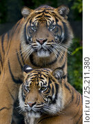 Купить «Male and female Sumatran tigers (Panthera tigris sumatrae), captive, native to Sumatra, Indonesia», фото № 25211380, снято 20 февраля 2020 г. (c) Nature Picture Library / Фотобанк Лори