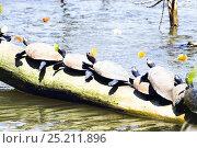 Wasserschildkröten sonnen sich am Sandoval Lake, Podocnemis unifilis; Tambopata Reservat, Peru, Südamerika / Amazon River Turtles; Podocnemis unifilis... Стоковое фото, фотограф Konrad Wothe / Nature Picture Library / Фотобанк Лори