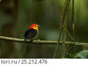 Купить «Male Wire-tailed Manakin (Pipra filicauda) at a calling perch. Tiputini Biodiversity Station, Amazon Rainforest, Napo Province, Ecuador, January.», фото № 25212476, снято 25 апреля 2019 г. (c) Nature Picture Library / Фотобанк Лори