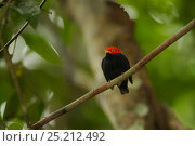 Купить «Adult male Red-capped Manakin (Pipra mentalis) at his display perch. Soberanía National Park, Gamboa, Panama, December.», фото № 25212492, снято 21 августа 2018 г. (c) Nature Picture Library / Фотобанк Лори