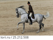 Купить «Rider from the Spanish Riding School on a Lipizzaner stallion performing dressage movements, Annual Autumn Parade, Piber Federal Stud, Maria Lankowitz...», фото № 25212508, снято 11 декабря 2017 г. (c) Nature Picture Library / Фотобанк Лори