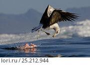 Купить «Juvenile Cape kelp gull (Larus vetula) feeding on seal entrails, Seal Island, False Bay, South Africa, August.», фото № 25212944, снято 25 мая 2018 г. (c) Nature Picture Library / Фотобанк Лори
