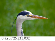 Grey Heron (Ardea cinerea) portrait, Regents Park, London, June. Стоковое фото, фотограф Ernie Janes / Nature Picture Library / Фотобанк Лори