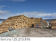 Купить «Softwood coniferous timber ready for transport to mainland, Isle of Mull, Inner Hebrides, Scotland, UK, May 2013.», фото № 25213816, снято 14 августа 2018 г. (c) Nature Picture Library / Фотобанк Лори