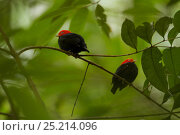 Купить «Two adult male Red-capped Manakins (Pipra mentalis) together at a lek. Soberanía National Park, Gamboa, Panama, December.», фото № 25214096, снято 24 января 2019 г. (c) Nature Picture Library / Фотобанк Лори