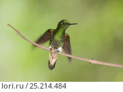 Купить «Buff-tailed Coronet (Boissonneaua flavescens) about to take off, Bellavista, Ecuador», фото № 25214484, снято 16 июля 2019 г. (c) Nature Picture Library / Фотобанк Лори
