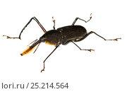 Купить «Bearded Weevil (Rhinostomus barbirostris) Gamboa, Panama. Meetyourneighbours.net project», фото № 25214564, снято 19 февраля 2019 г. (c) Nature Picture Library / Фотобанк Лори