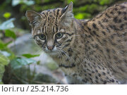 Купить «Geoffroy's cat (Leopardus geoffroyi), captive, native to South America.», фото № 25214736, снято 22 июля 2019 г. (c) Nature Picture Library / Фотобанк Лори