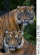 Купить «Male and female Sumatran tigers (Panthera tigris sumatrae), captive, native to Sumatra, Indonesia», фото № 25214780, снято 20 февраля 2020 г. (c) Nature Picture Library / Фотобанк Лори