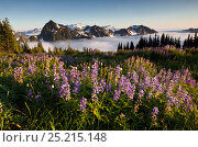 Lupins (Lupinus) with Mount Olympus in the distance, viewed from above Appleton Pass in Olympic National Park, Washington. USA, August 2013. Стоковое фото, фотограф Kirkendall-Spring Photographers / Nature Picture Library / Фотобанк Лори