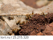 Купить «Termites (Isoptera) beginning to construct a mound using dead leaves as 'scaffolding', Budongo Forest Reserve, Uganda.», фото № 25215320, снято 21 марта 2019 г. (c) Nature Picture Library / Фотобанк Лори