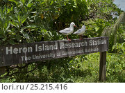 Купить «Sign with Silver Gulls (Larus novaehollandiae forsteri) on Heron Island, southern Great Barrier Reef, Queensland, Australia..», фото № 25215416, снято 17 июля 2018 г. (c) Nature Picture Library / Фотобанк Лори