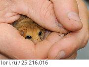 Adult Common / Hazel dormouse (Muscardinus avellanarius), held gently... Стоковое фото, фотограф Nick Upton / Nature Picture Library / Фотобанк Лори