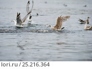 Купить «California gulls (Larus californicus) and Mew gull (Larus canus) catching fish from a baitball near the surface. Johnstone Strait, East Coast, Vancouver Island, British Columbia, Canada, July.», фото № 25216364, снято 23 сентября 2018 г. (c) Nature Picture Library / Фотобанк Лори