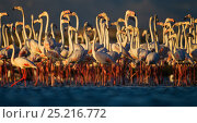 Купить «Lesser Flamingo (Phoeniconaias minor) flock at Strndfontein sewerage works, Cape Town, South Africa.», фото № 25216772, снято 21 сентября 2018 г. (c) Nature Picture Library / Фотобанк Лори