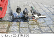 Купить «Feral Pigeons (Columbia livia) drinking from minature trough below a hydrant in the Market Square at Krakow, Poland, July.», фото № 25216836, снято 19 августа 2018 г. (c) Nature Picture Library / Фотобанк Лори