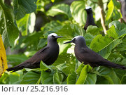 Купить «Noddy Turns (Anous stolidus) pair on Heron Island, southern Great Barrier Reef, Queensland, Australia.», фото № 25216916, снято 17 июля 2018 г. (c) Nature Picture Library / Фотобанк Лори