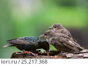 Купить «Two Common starling (Sturnus vulgaris) fledglings begging for food in spring, Belgium, June.», фото № 25217368, снято 5 июня 2020 г. (c) Nature Picture Library / Фотобанк Лори