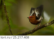 Купить «Male Club-winged Manakin (Machaeropterus deliciosus) hitting his wings together (stridulating) over his back to produce a sound.  Milpe Cloudforest Reserve, Ecuador, January. Endemic.», фото № 25217408, снято 26 марта 2019 г. (c) Nature Picture Library / Фотобанк Лори
