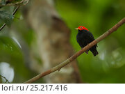 Купить «Adult male Red-capped Manakin (Pipra mentalis) at his display perch. Soberanía National Park, Gamboa, Panama, December.», фото № 25217416, снято 21 августа 2018 г. (c) Nature Picture Library / Фотобанк Лори