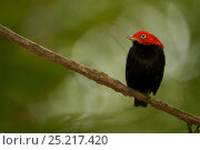 Купить «Adult male Red-capped Manakin (Pipra mentalis) at a display perch. Soberania National Park, Gamboa, Panama, December.», фото № 25217420, снято 21 августа 2018 г. (c) Nature Picture Library / Фотобанк Лори