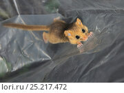 Young Common / Hazel dormouse (Muscardinus avellanarius) captured during a survey by Backwell Enviroment Trust in coppiced woodland near Bristol, being... Стоковое фото, фотограф Nick Upton / Nature Picture Library / Фотобанк Лори
