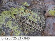 Купить «Northern Black-Tailed Rattlesnake (Crotalus molossus molossus) Sonoran Desert, Mesa, Arizona, USA», фото № 25217840, снято 17 января 2019 г. (c) Nature Picture Library / Фотобанк Лори