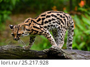 Купить «Oncilla (Leopardus tigrinus) French Guiana.  Captive, vulnerable species.», фото № 25217928, снято 22 июля 2019 г. (c) Nature Picture Library / Фотобанк Лори