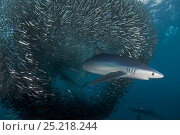 Купить «Blue Shark (Prionace glauca) feeding on Anchovy (Engraulis encrasicolus) bait ball, Cape Point, South Africa.», фото № 25218244, снято 25 мая 2018 г. (c) Nature Picture Library / Фотобанк Лори
