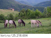 Купить «Wild living, reintroduced Konik horses, Sbor abandoned village, Eastern Rhodope Mountains, Bulgaria, May.», фото № 25218604, снято 22 июля 2019 г. (c) Nature Picture Library / Фотобанк Лори