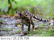 Купить «Margay (Leopardus wiedi) in wetland, French Guiana, captive», фото № 25218708, снято 26 июня 2019 г. (c) Nature Picture Library / Фотобанк Лори