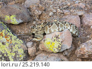 Купить «Northern Black-Tailed Rattlesnake (Crotalus molossus molossus) Sonoran Desert, Mesa, Arizona, USA. Non-exclusive», фото № 25219140, снято 17 января 2019 г. (c) Nature Picture Library / Фотобанк Лори