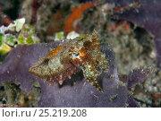 Купить «Reaper cuttlefish (Sepia mestus) Raja Ampat, Irian Jaya, West Papua, Indonesia, Pacific Ocean», фото № 25219208, снято 18 ноября 2017 г. (c) Nature Picture Library / Фотобанк Лори